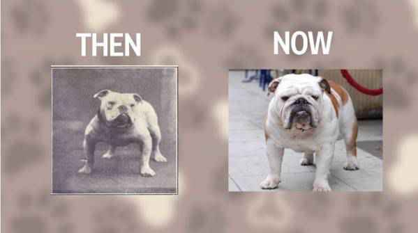 Bulldog Then And Now
