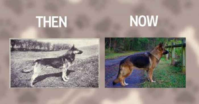 German Shepherd Dog Then And Now